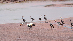 Crowned crane near river from Kenya Footage