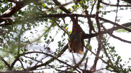 Insect Bat hanging on tree Footage