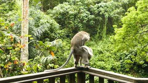 Macaque monkeys have sex on wooden wall, Ubud, Bali Footage