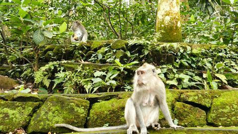 Macaque monkeys on ancient wall at Monkeyforest in Ubud, Bali Footage
