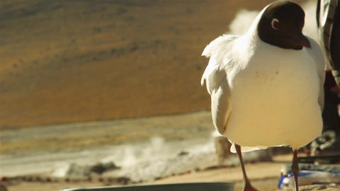 Andean Gull in the Geysers of Tatio, San Pedro de Atacama, Chile Footage