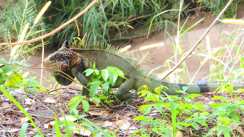 Green Iguana 画像