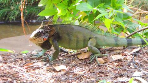 Green Iguana Filmmaterial