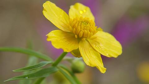 Yellow buttercup flower ビデオ