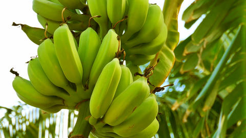 A large bunch of organic bananas on a banana tree Footage