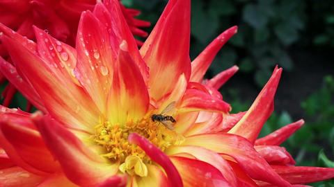 Bee on a red and yellow flower Footage