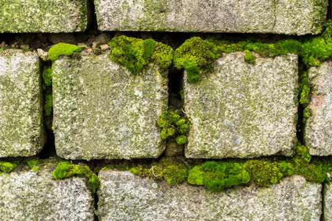An old brick wall overgrown with green moss Foto