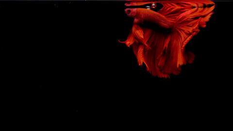Red Siamese Fighting Fish Betta Splendens Footage