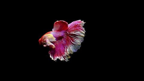 Siamese Half Moon Fighting Fish Betta Splendens 画像