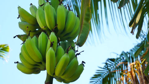 UHD shot of green organic bananas on a tree Footage