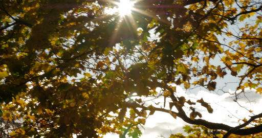 The sun shining through autumn maple leaves Footage