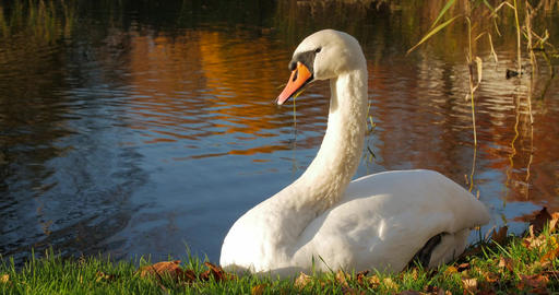 White Swan is Sitting on a Bank of a Pond. Autumn Sunny Footage