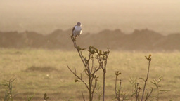 Black winged kite on a branch Footage