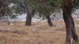 Israeli mountain gazelle in the rain Footage