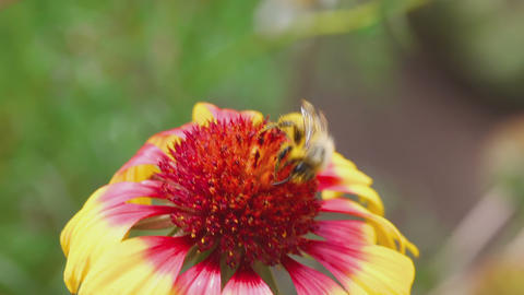 Bumblebee on a flower gailardia Footage