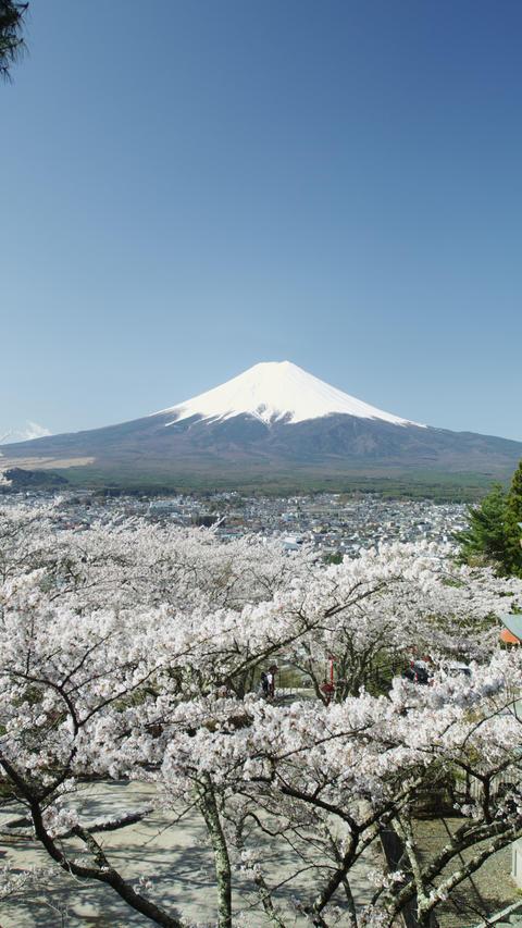 Cherry Blossom Time near Mount Fuji in 4k 影片素材