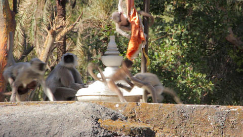 Monkeys the langurs in the Indian city Footage