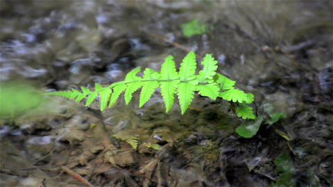 Close shot of Fern leaf and flowing water at background Footage