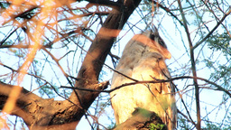 Verreaux's eagle-owl on a tree Footage