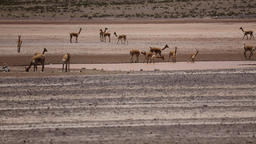 wild lama Vigogna i Footage