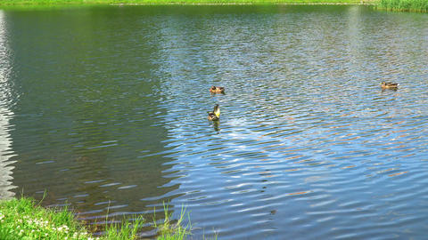 Three ducks swim in the pond. Ducks preen their feathers Footage