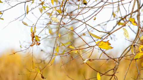 Wind shakes Autumn yellow leaves Footage