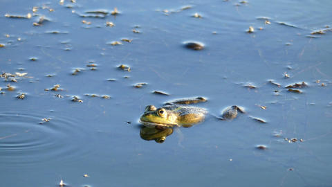 Frog laying on the surface of the water Footage