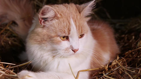 Ginger cat on the hay close-up Footage