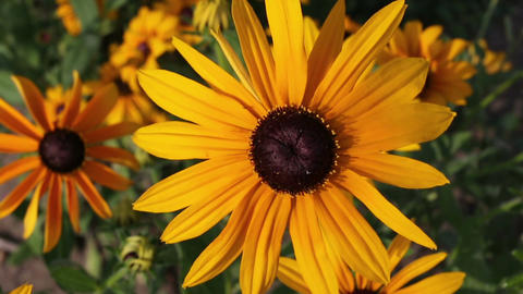 Yellow rudbeckia or Black Eyed Susan flowers in the garden Footage