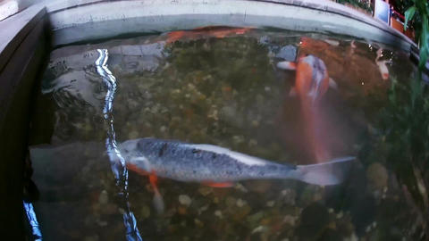 Chinese carp, Koi, trying to swallow the camera. POV Image