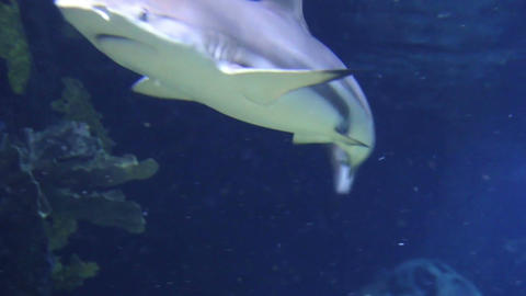 Underwater shot of approaching Grey Reef Shark, coral reef environment Footage