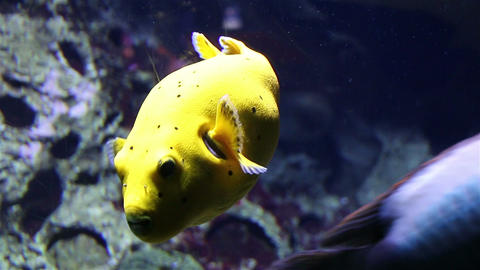 Yellow tropical fish among the coral reefs Footage