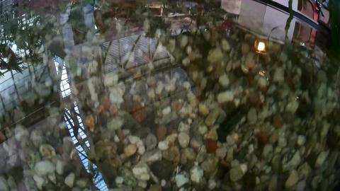 Chinese carp, Koi, swimming around the camera. POV Footage