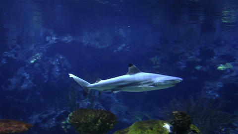 Underwater shot of approaching Grey Reef Shark, coral reef Live Action
