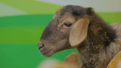 Close up shot of cute brown sheep Footage