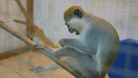 Monkey sitting on tree and eat kiwifruit Footage