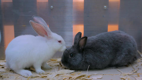 Cute black and white rabbits Footage