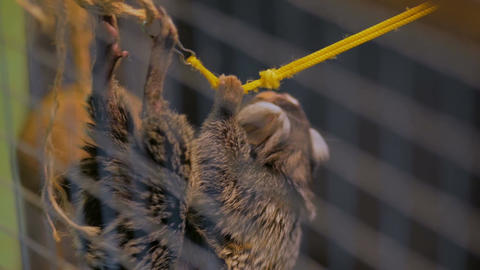 Cute monkey hanging on the rope Footage