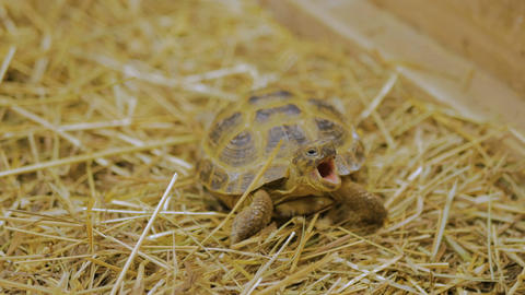 Turtle yawn and slowly crawl forward Footage