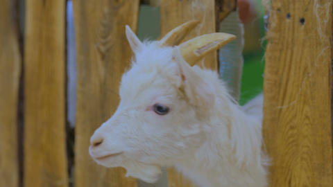 Goats looks around from wooden fence on a farm Footage