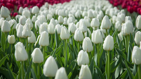 Lovely white tulips swaying in the wind Footage