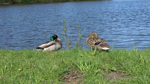 A couple of ducks on the river bank in the summer Footage