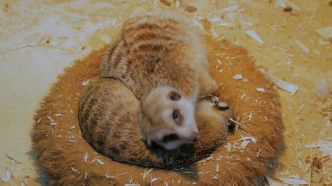 Two meerkats sleeping in their house Footage