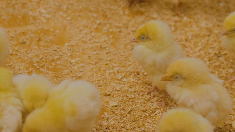 Few days old chickens on zoo Image