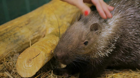 Woman stroke porcupine at zoo Footage