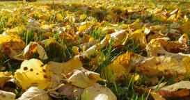 Autumn leaves on autumn grass Footage