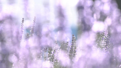Stems with lavender flowers sway in the wind Footage