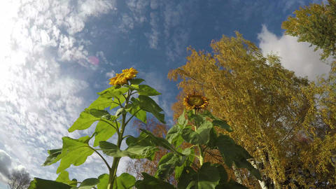 Last flowering autumn sunflowers, birch trees and clouds, time lapse Footage