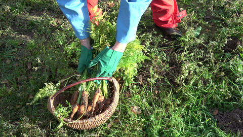 Gardener harvesting orange fresh carrots in autumn garden and put in wicker Live Action
