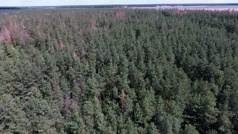 Aerial - Drone flying over pine forest on sunny day Footage